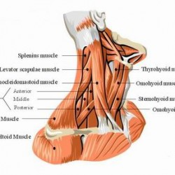 Stabilising Muscles of the Neck